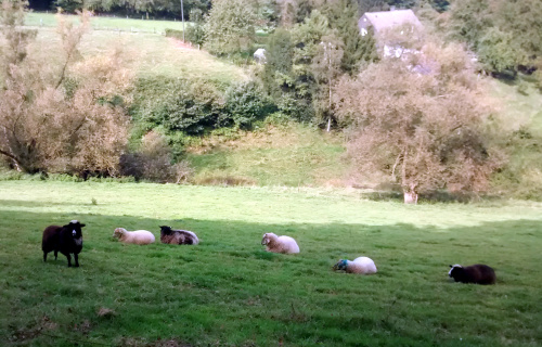 Sechs Schafe